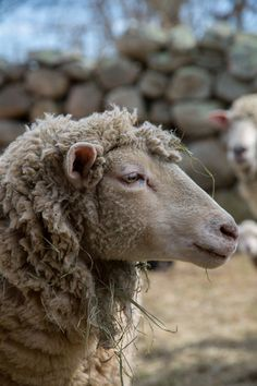 """Sheep #9. Repinned by Elizabeth VanBuskirk. When Peruvian children are about six years old they go far from home, often higher in the mountains, every day to take the family's many llamas and sheep to graze. You can read more about their experiences in the mountains in the story """"Shepherding"""" in """"Beyond the Stones of Machu Picchu: Folk Tales and Stories of Inca Life"""" (now available on Amazon pre-order.)"""