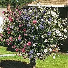 My next ornamental purchase will be a Rose of Sharon. What a great idea ti wind 3 together!