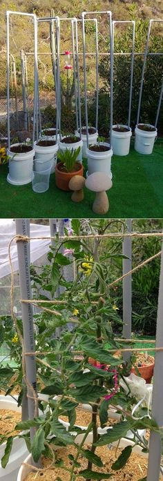 Growing tomatoes in containers : Each bucket has two 6' pipes zip-tied to the inside with 3...