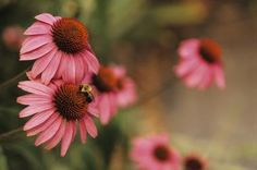 Coneflowers (Echinacea spp.) attract bees and butterflies to the perennial garden, while also withstanding drought, hot temperatures and some neglect. Although the plant's native range is the ...
