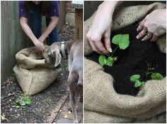 Sack o' Potatoes: Planting Sweet Potatoes in a Bag | 17 Apart: Sack o' Potatoes: Planting Sweet Potatoes in a Bag