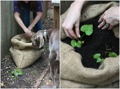 Sack o' Potatoes: Planting Sweet Potatoes in a Bag | 17 Apart: Sack o' Potatoes: Planting Sweet Potatoes in a Bag
