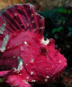 Taenianotus Triacanthus  #strani #animali #mare #curiosita
