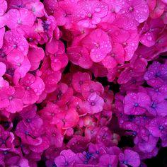 Dewdrops lingering on the petals...