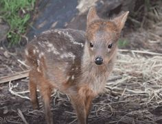 Smallest deer at NYC zoo