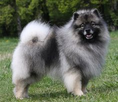 Keeshond - Distinctive facial markings called spectacles set apart this breed of Dutch origin and give it a look of great intelligence, a look that is borne out by the breed's alert, lively and trainable nature.