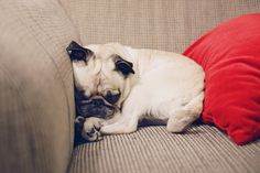 Pug is all curled up and ready for bed.