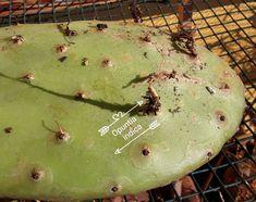 Radici di Opuntia indica