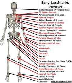 Bony skeletal landmarks posterior