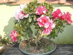 azaleia flor - Pesquisa Google