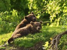 Baby bears...- I love bears