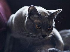 Burmese cat age calculator