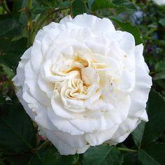 rose diamond anniversary plants pinterest plants