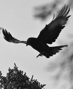Curious about the Raven being your possible animal spirit guide? This hub provides information on what the raven means as a spirit guide and how to connect with the raven. Raven Images, Raven Bird, Animal Spirit Guides, Crows Ravens, Extinct Animals, Prehistoric Creatures, Pastel, Desktop Pictures, Animal Totems