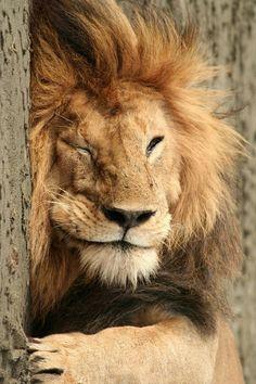 El león que finje estar dormido para cachar a la tigresa que lo espía...guar guar.