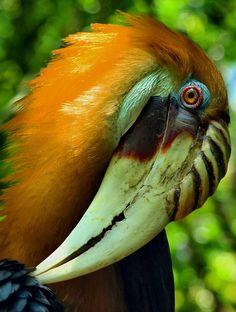 Male Blyth's Hornbill, Aceros plicatus, by Birdman of Brownsville. Scary Birds, Funny Birds, All Birds, Little Birds, Exotic Birds, Colorful Birds, Pretty Birds, Beautiful Birds, Animals Of The World