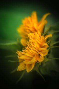 . . . jesienny słonecznik