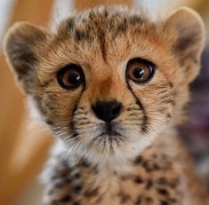 Rate this cuteness from ⠀ ⠀ ? Via Cheetah Conservation Fund - Katzen - Animals Cute Baby Animals, Animals And Pets, Funny Animals, Baby Wild Animals, Beautiful Cats, Animals Beautiful, Baby Cheetahs, Cheetah Cubs, Tiger Cubs