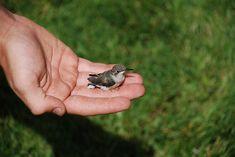Baby ruby throated hummingbird
