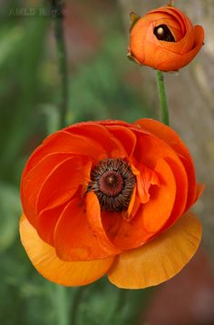 Poppies - an abundantly spreading perennial. In the language of flowers, poppies signify oblivion, and eternal sleep.