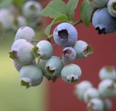 Growing Blueberries - Photo: © Marie Iannotti