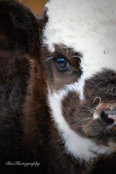 RmPhotography baby calf