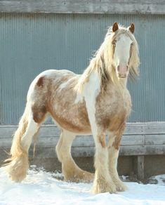 Tommy Boy Mack - Gypsy Vanner Stallion- son of Tomboy  #GypsyVannerHorses