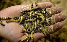"""Résultat de recherche d'images pour """"insectes comestibles"""""""