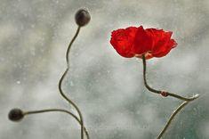 I like red skirts... - Ladybug on the red poppy