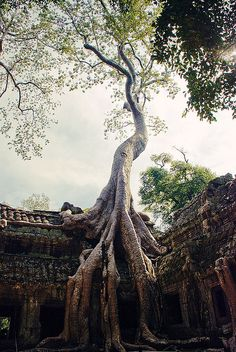 The tree which moves some to tears of joy is in the eyes of others only a green thing that stands in the way. Some see nature all ridicule and deformity... and some scarce see nature at all. But to the eyes of the man of imagination, nature is imagination itself.~ William Blake (Ta Prohm Temple ruins in Angkor, Cambodia)