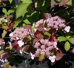 Hydrangea macrophylla 'Lady in Red' 1 flower