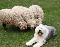 "old english sheep dog, ""A sheepdog watching sheep"""