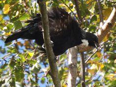 Tui In Birch Tree Bald Eagle, Birch, Animals, Animales, Animaux, Animal, Animais