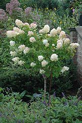 Small flowering tree