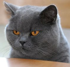 """doesn't this cat just look like he is thinking - """"That wasn't funny""""  - British Shorthair"""