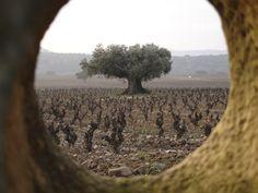 Contino's Olivo #vineyard in #Rioja #Alavesa