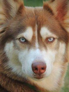 Gorgeous Husky ❤❤❤❤❤