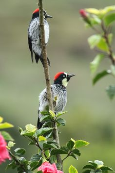 Acorn Woodpecker by john@sandwichbirdtours.co.uk