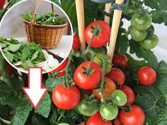 Grow Organic Tomatoes Tomatoes: Planting, Growing and Harvesting Tomato Plants Container Gardening Vegetables, Planting Vegetables, Growing Vegetables, Vegetable Gardening, Container Plants, Growing Plants, Veggies, Growing Tomatoes Indoors, Growing Tomatoes In Containers