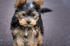 The Parti Yorkie is a variation of purebred Yorkshire terrier, with different coloring. Here are the differences between a parti yorkie vs yorkie vs biewer Small Cute Puppies, Best Small Dogs, Cute Dogs, Yorkshire Terrier Dog, Biewer Yorkshire, Yorkie Puppy For Sale, Yorkie Puppies, Pet Puppy, Cutest Animals