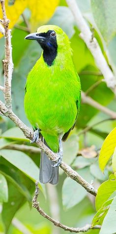 Greater Green Leafbird (Chloropsis sonnerati) - Brunei, Indonesia, Malaysia, Myanmar, Singapore, Thailand. Its natural habitats are subtropical or tropical moist lowland forests and subtropical or tropical mangrove forests, mainly old-growth forests but also secondary forests and edges