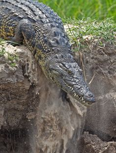 Africa | 'Breaking the Banks'.  Crocodile, Okovango River, Botswana |  © Hendri Venter