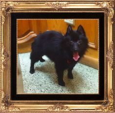 ADOPTED! Petfinder  Adoptable | Dog | Schipperke | Dallas, TX | Kelly