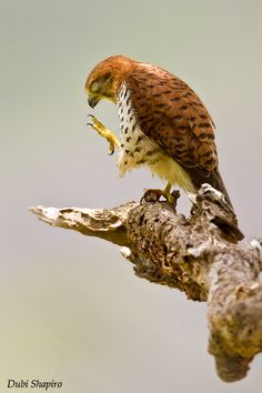 The Mauritius Kestrel was once regarded as the world's rarest bird; by 1974 only four individuals were known to exist in the wild. This raptor was probably once common across Mauritius from sea level to the highest upland forest.