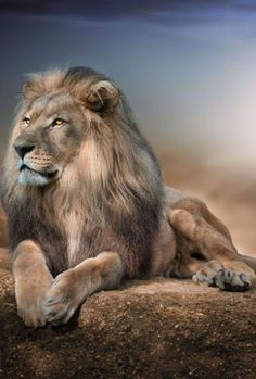 The lion king Wild Animals Pictures, Lion Pictures, Animal Pictures, Beautiful Lion, Animals Beautiful, Animals And Pets, Cute Animals, Lion Photography, Big Cats Art