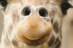 an amazing giraffe