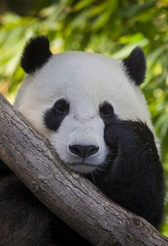 "Sleepy Panda by San Diego Zoo Global on Flickr. ""Yun Zi stopped playing in the snow but he didn't stop wooing the crowd, proving that a sleepy Panda is just as lovable as an excited one."""