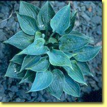 Hosta Baby Blue Eyes; photo courtesy of Green Hill Nursery