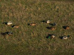 W ostatni weekend stycznia 2016 r. odbyło się – kolejny już raz – liczenie ptaków na Bolko. W niedzielę po południu wybrałem się na spacer i osobiście przekonałem, że nad samym Kanałem ulgi ptactwa – nie tylko wodnego – jest dostatek.