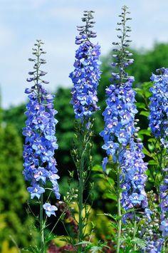 """""""O delfínio dá uma flor azul gigante e está no auge da temporada, que vai até outubro"""", indica Marina Gurgel. Levemente perfumadas, elas também podem ter outras tonalidades, como rosa, lilás e branco. Flores para ter em casa (Foto: Getty Images)"""